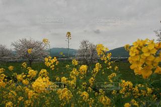 桜の写真・画像素材[512949]