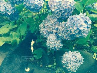 猫の写真・画像素材[513002]