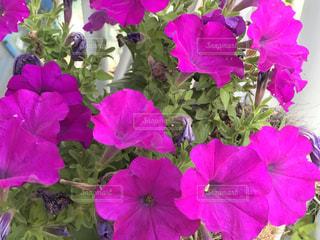 花の写真・画像素材[513018]