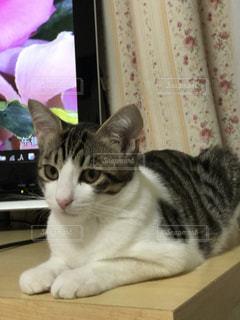 猫の写真・画像素材[513067]