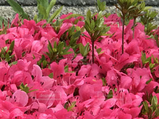 花の写真・画像素材[513073]