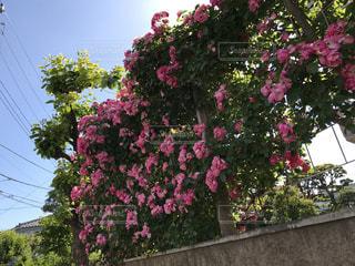 花の写真・画像素材[513083]