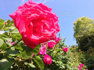 花の写真・画像素材[513195]