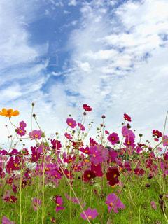 秋桜と空の写真・画像素材[864251]