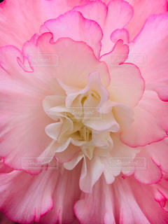 パステルピンクの花の写真・画像素材[1218674]
