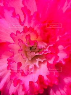 ビビットピンクの花の写真・画像素材[1218675]