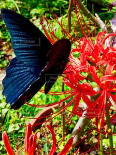 黒アゲハ蝶とヒガンバナの写真・画像素材[1224115]