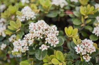 花の写真・画像素材[520858]