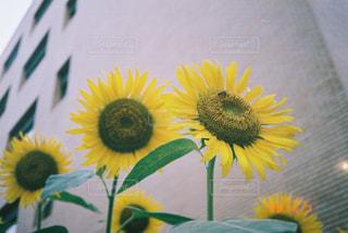 黄色い花のクローズアップの写真・画像素材[2370571]