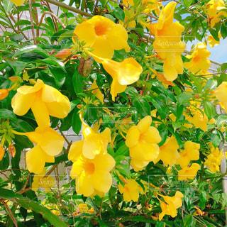 ハイビスカス黄色の写真・画像素材[1342686]