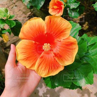 ハイビスカスオレンジの写真・画像素材[1342687]