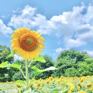 ひまわり畑の写真・画像素材[1348939]