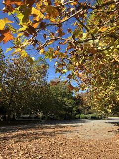 秋の並木道の写真・画像素材[1636842]