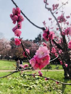 桜の花の写真・画像素材[1355293]