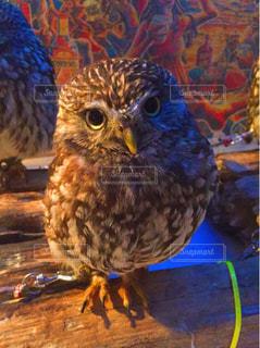 フクロウの写真・画像素材[596648]