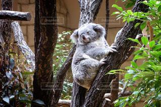 枝の上に座ってコアラ - No.770147