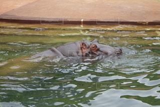 水体で泳ぐ犬の写真・画像素材[770151]