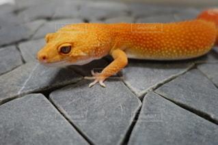 小さなオレンジ色のレオパの写真・画像素材[2696901]