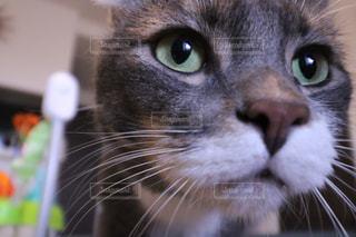 クローズ アップ カメラを見て青い目の猫の - No.717425