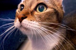 近くにカメラを見て猫のアップの写真・画像素材[717428]