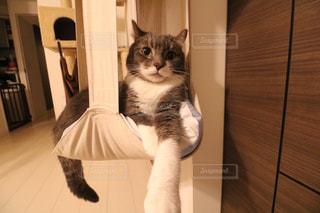 カメラを見ている猫の写真・画像素材[757561]