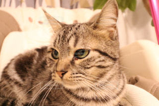 横になって、カメラを見ている猫の写真・画像素材[780949]