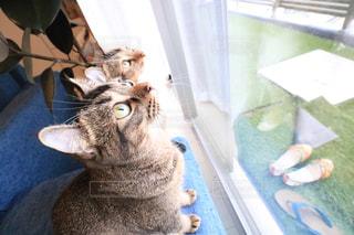 カメラを見ている猫の写真・画像素材[823618]
