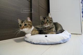 横になって、カメラを見ている猫の写真・画像素材[899623]