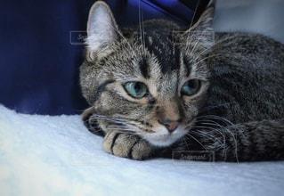 横になって、カメラを見ている猫の写真・画像素材[902073]
