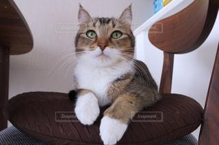 椅子に座って猫の写真・画像素材[965092]