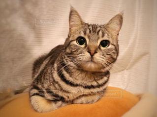 カメラを見ている猫の写真・画像素材[967599]
