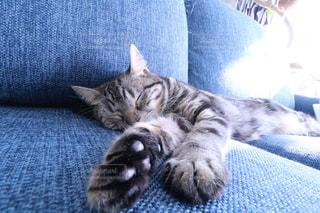 青い毛布の上に横たわる猫 - No.983724