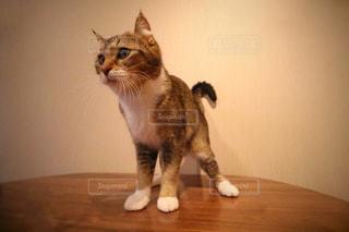 テーブルの上に座って猫の写真・画像素材[985042]