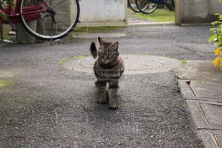 歩道の上を歩く猫の写真・画像素材[988346]