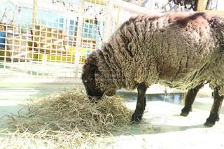 干し草の山の横に立ってを羊の群れの写真・画像素材[995059]