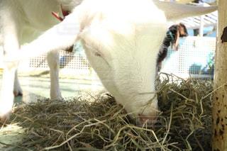 干し草の山を食べるヤギの写真・画像素材[995061]