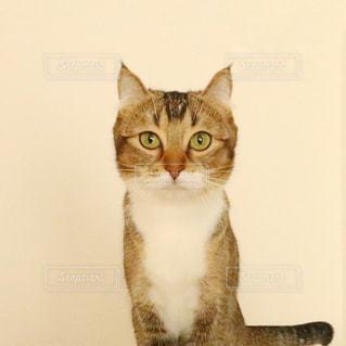 カメラを見ている猫の写真・画像素材[1001458]