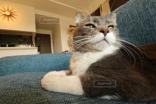 ソファに座って猫の写真・画像素材[1016739]