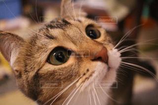 近くにカメラを見て猫のアップの写真・画像素材[1023621]