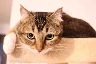 横になって、カメラを見ている猫の写真・画像素材[1023624]