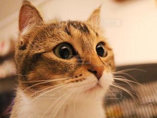 カメラを見ている猫の写真・画像素材[1024274]