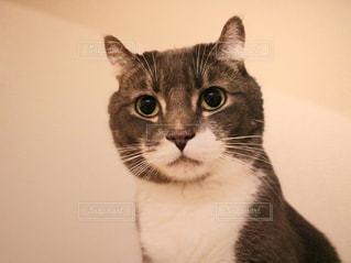 カメラを見ている猫の写真・画像素材[1024277]