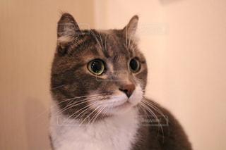 カメラを見ている猫の写真・画像素材[1025392]