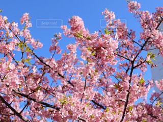 木の枝にピンク色の花のグループの写真・画像素材[1031852]