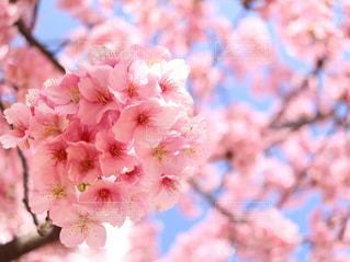 河津桜の花束の写真・画像素材[1034516]