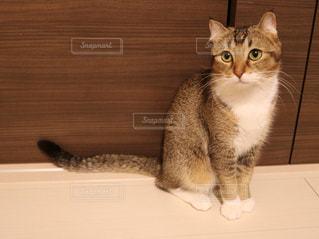 カメラを見ている猫の写真・画像素材[1047046]