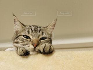 横になって、カメラを見ている猫の写真・画像素材[1058339]