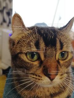 カメラを見ている猫の写真・画像素材[1065938]