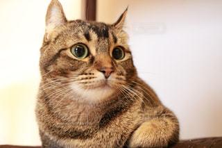 カメラを見ている猫の写真・画像素材[1072201]