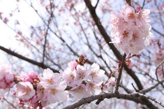 木の枝にピンク色の花のグループの写真・画像素材[1080154]